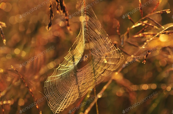 Spider web in warm morning light