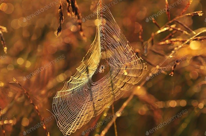 Spider web in warm morning light