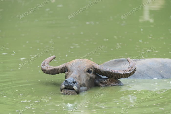 water buffalo living in the water lake