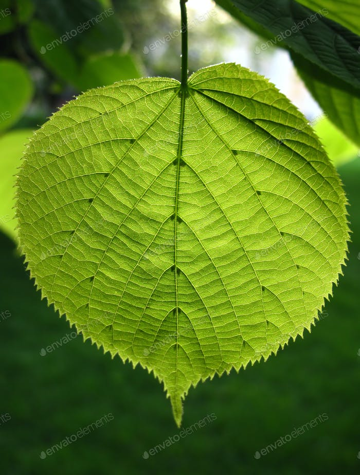 Green leaf of linden tree