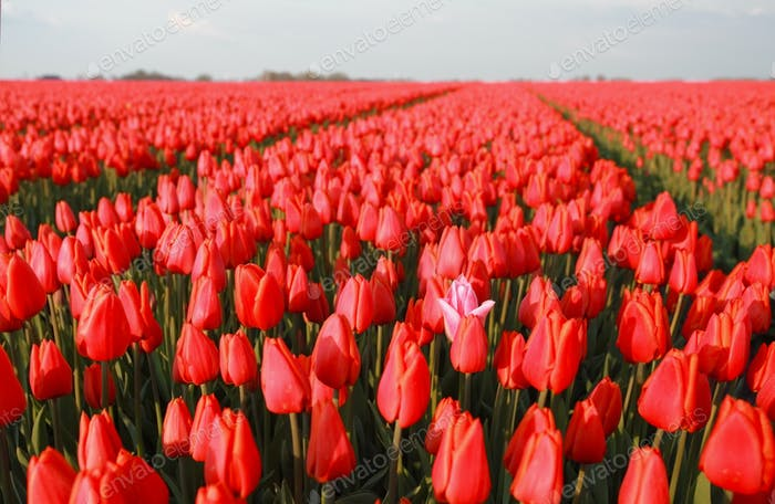one pink tulip among red in field