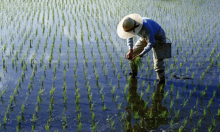Japanese Farmer Tending The Rice Paddy Concept