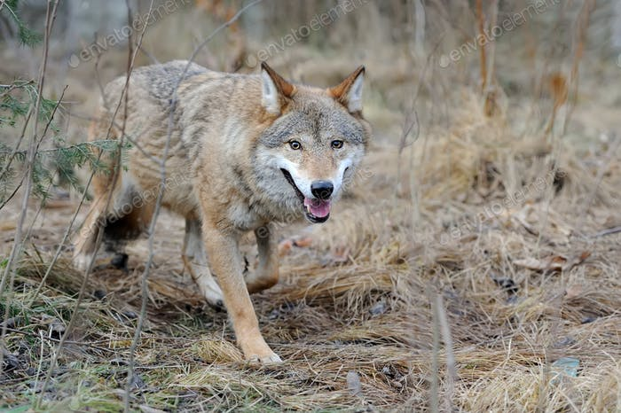 Wild wolf in forest