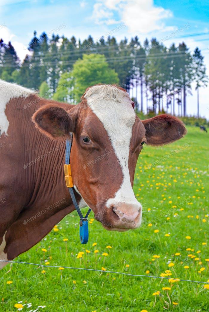 Kühe grasen auf einer grünen Sommerwiese unter blauem klarem Himmel in NR