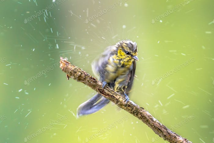 Eurasian blue tit shaking drops