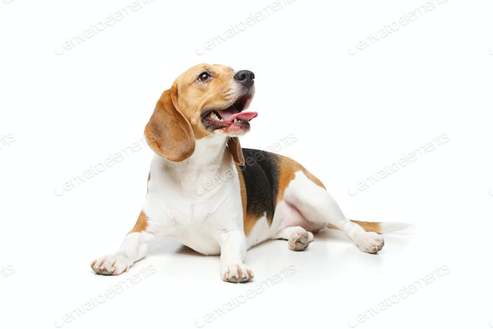 beautiful beagle dog isolated on white