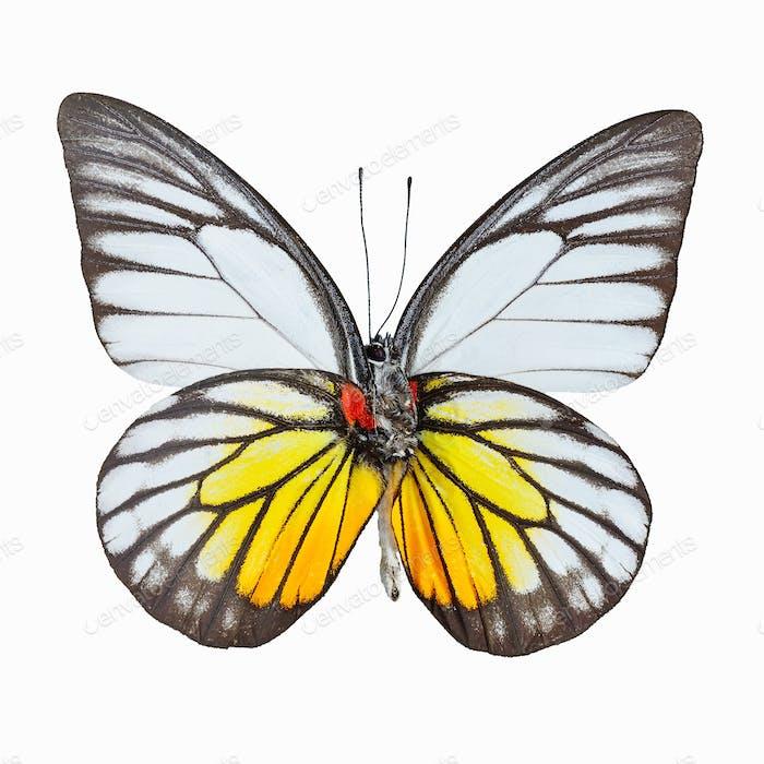 Orange Gull butterfly