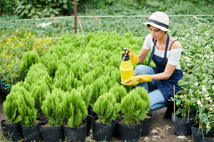 Woman spraying water on cypress plants