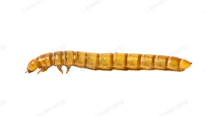 side view Mealworm close up