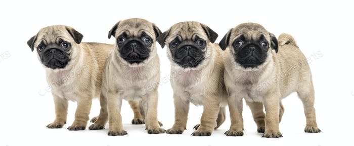 Four pug puppies, isolated on white