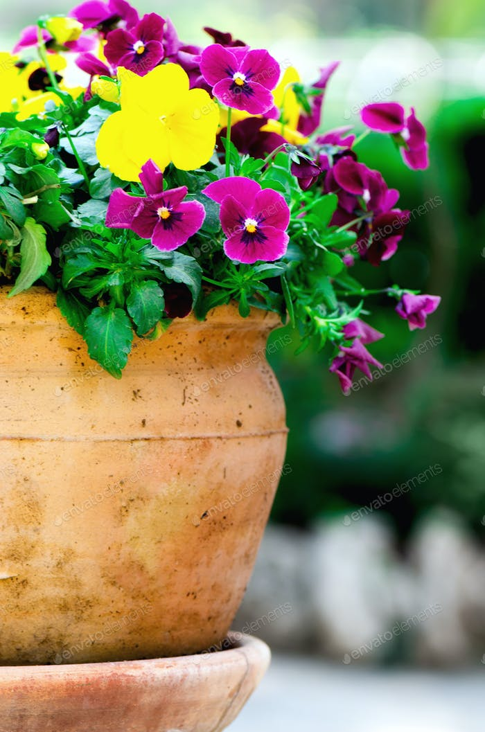 Yellow and violet pansies in flower pot in garden. Copy space. Spring and summer concept