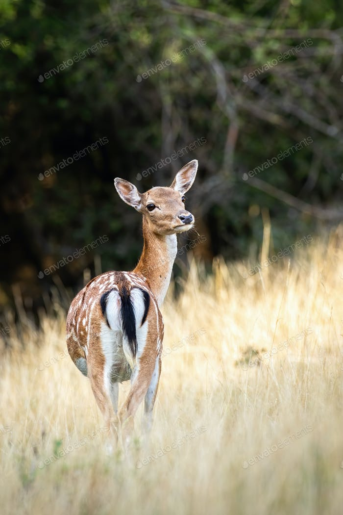 Fallow deer hind standing on a grassy meadow from behind