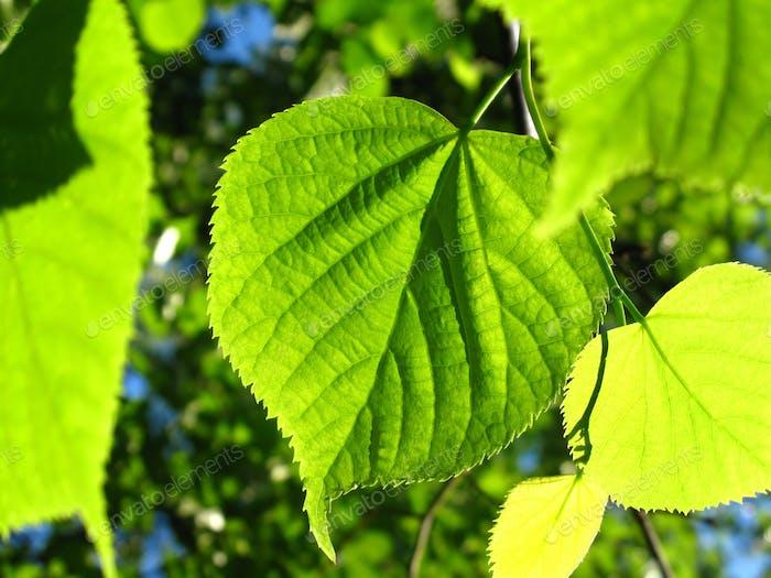Grünes Laub des Frühlingsbaums