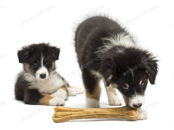 Two Australian Shepherd puppies, 2 months old,  one watching