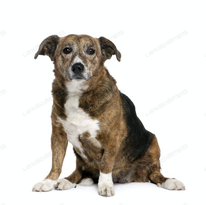 Old bastard dog, 11 years old, sitting in front of white background, studio shot