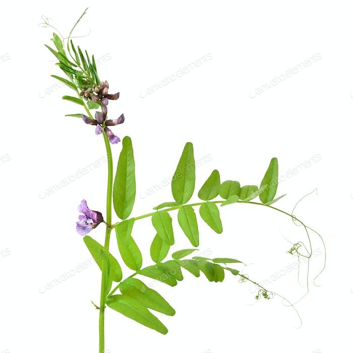 Vicia sepium flower