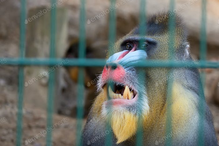 Portrait of a mandrill monkey