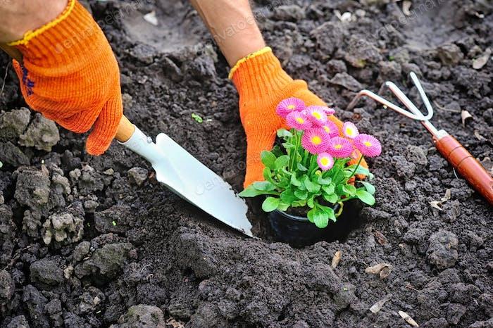 Gärtner Hände Pflanzen Marguerite Blumen im Garten