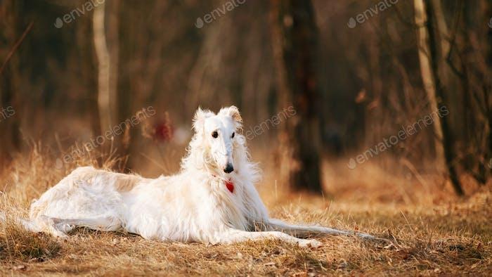 Dog Russian Borzoi Wolfhound Head , Outdoors, Autumn Season