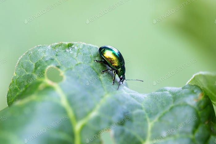 Mint leaf beetle, Chrysolina herbacea