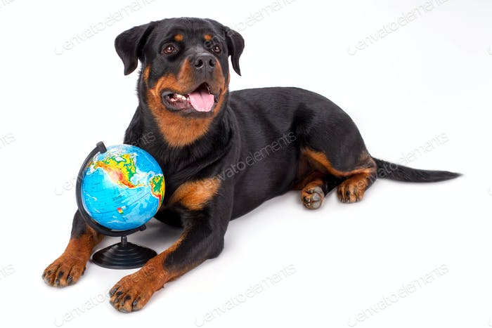 Portrait of rottweiler with globe