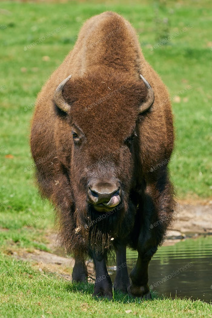 Amerikanischer Bison (Bison-Bisons)