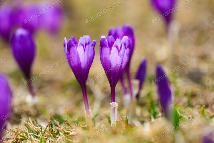 Purple crocus flowers in snow awakening in spring