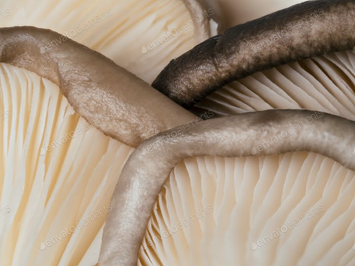 oyster mushrooms close up