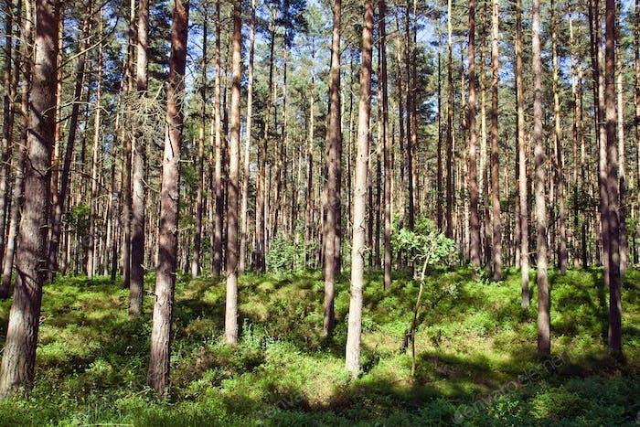 Sonniger Pinienwald