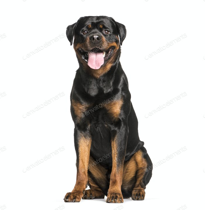 Rottweiler dog sitting and panting, cut out