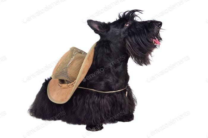 Black terrier in hat