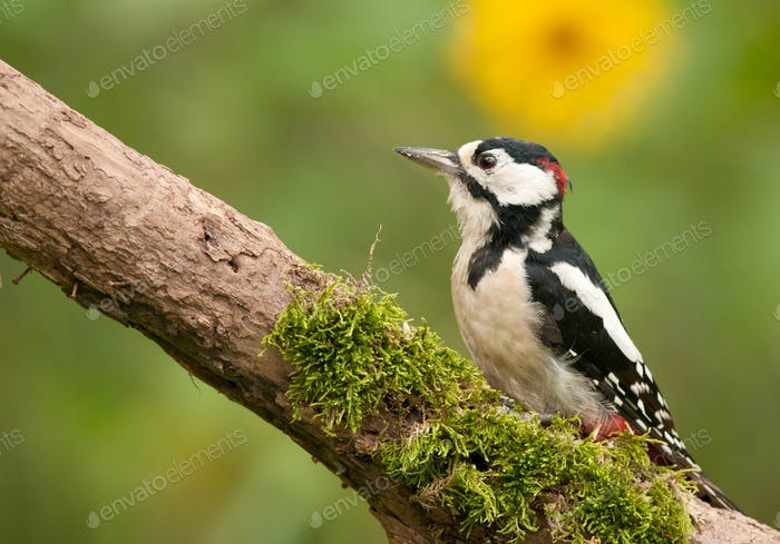 Adult male of the greater spotted woodpecker