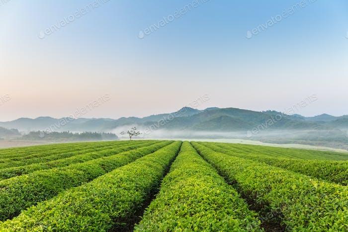 schöne Teeplantage am frühen Morgen
