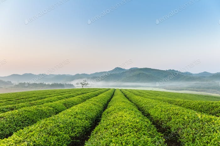 beautiful tea plantation in early morning