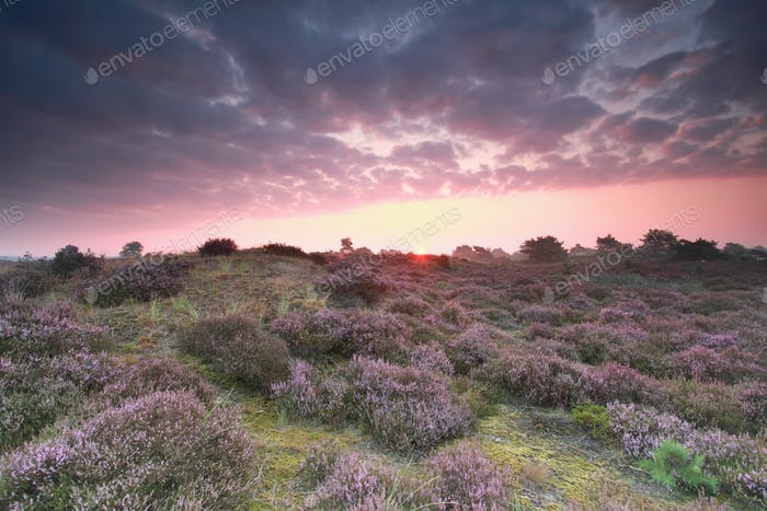 pink sunrise and pink heather flower