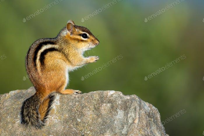 Eastern Chipmunk - Tamias striatus, sitzende Hinterbeine auf einem Felsen.