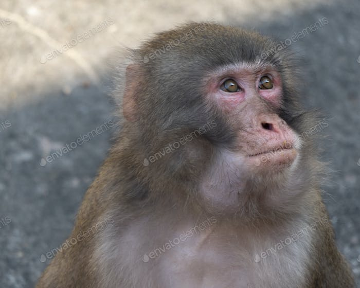 Portrait Of A Japanese Macaque snow Monkey.