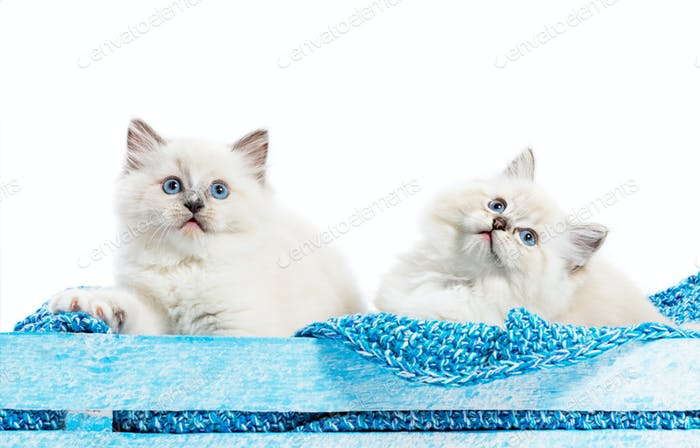 Two Ragdoll cats, small kittens portrait on blue blanket. White background