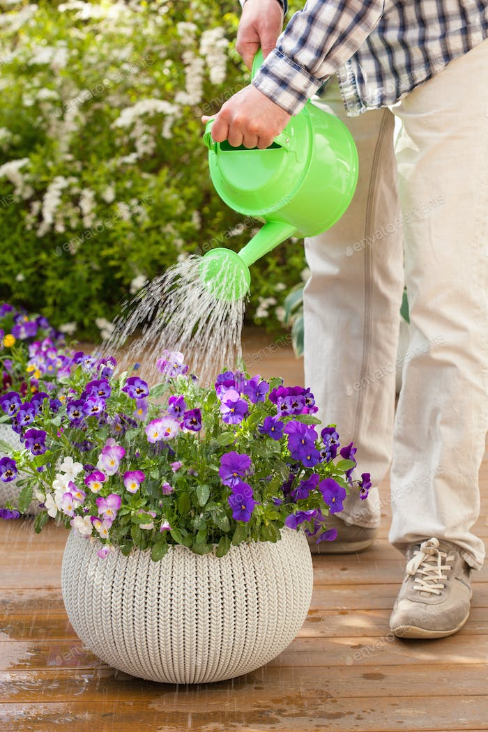 man watering viola flowers in garden