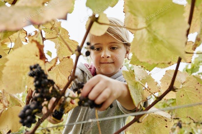 Ein junges Mädchen mit einer Gartenschere, um ein paar schwarze Trauben vom Weinstock zu schneiden.