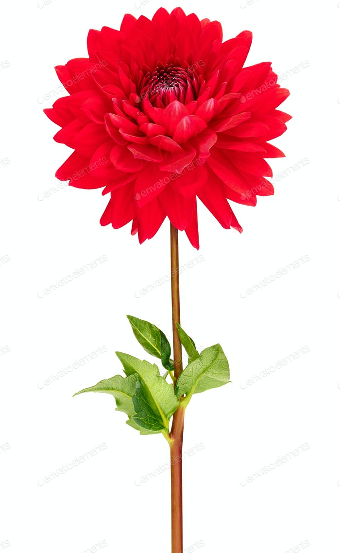 Dahlia red colored flower with green stem and leaf