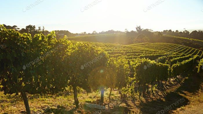 Rows of vines bearing fruit in vineyard