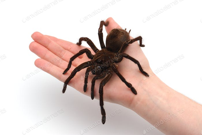 Black Goliath Birdeating Spider Sitting on Male Hand. Isolated Halloween Concept.