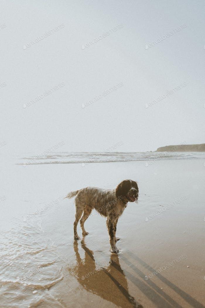 English Setter dog at the beach