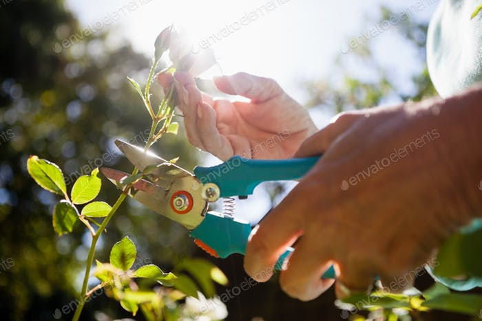 Close-up of senior woman cutting flower stem with pruning shears