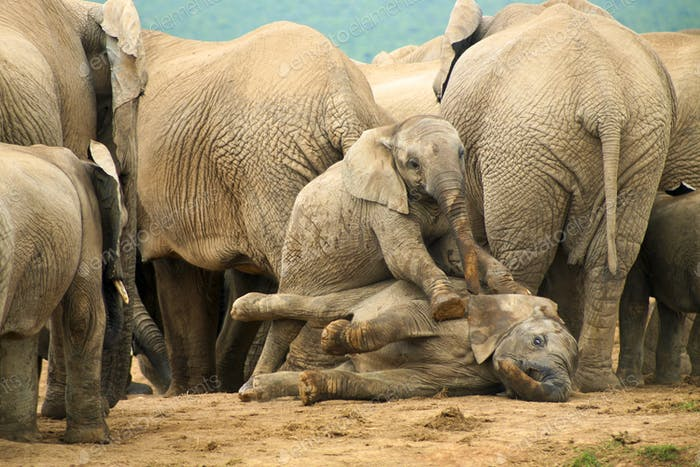 Group of wild elephants in South Africa
