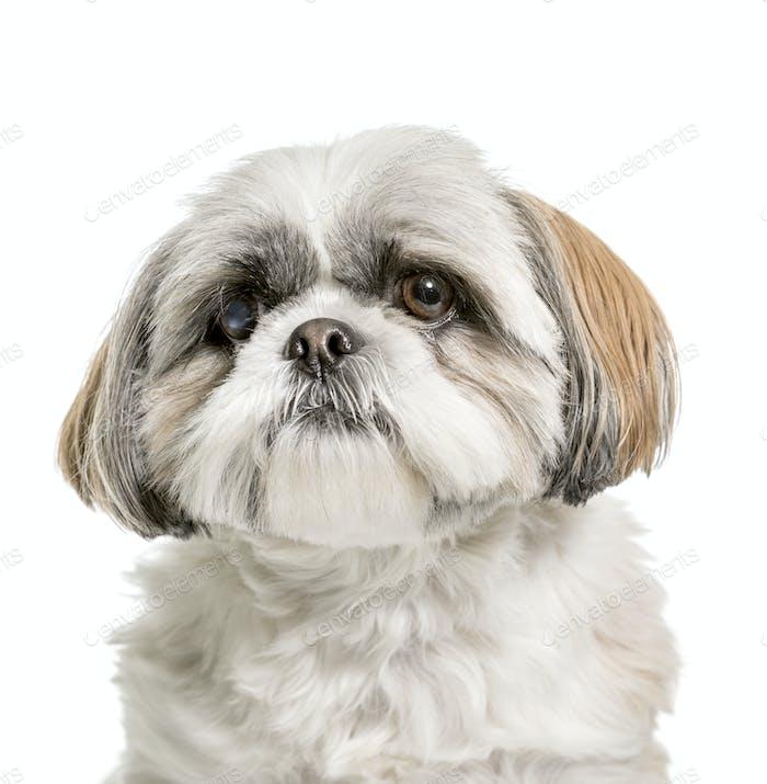 Close-up of a Shi Tzu Dog, cut out