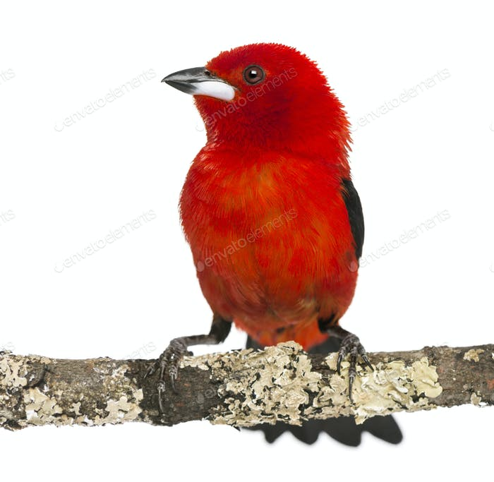 Brazilian Tanager perched on a branch - Ramphocelus bresilius - isolated on white