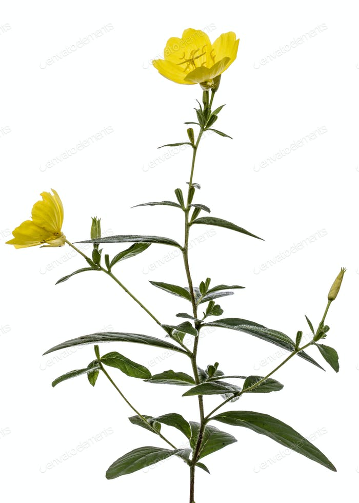 Yellow flower of Evening Primrose, lat. Oenothera, isolated on w