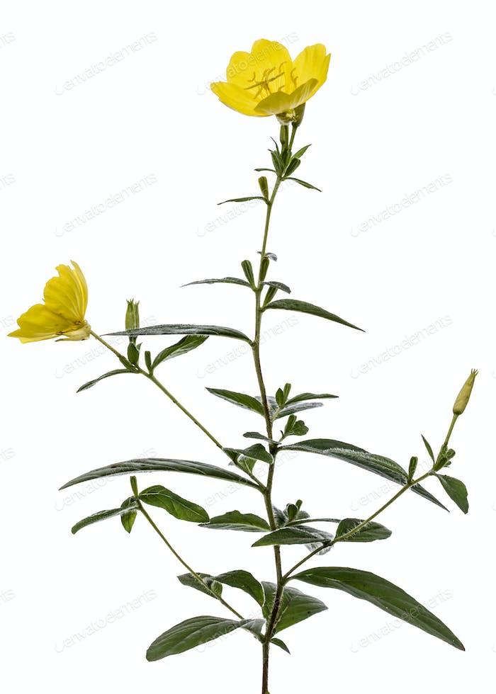 Gelbe Blume der Nachtkerze, lat. Oenothera, isoliert auf w